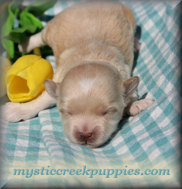 Maltipoo Puppies For In Naperville Illinois Gallery 4k Wallpapers