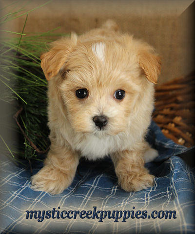 Maltipoo Puppies for Sale in Chicago