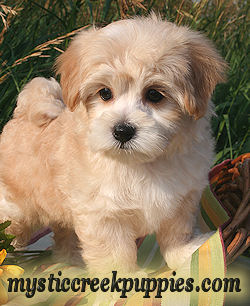 List of Synonyms and Antonyms of the Word: maltipoo rescue