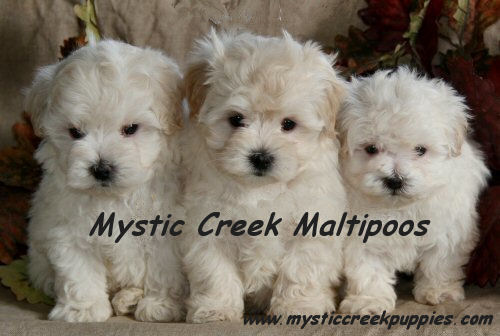 ... provide support for your new maltipoo or maltese puppy as he or she grows. You can call us, email us, or send a letter. Don't forget to send pictures!